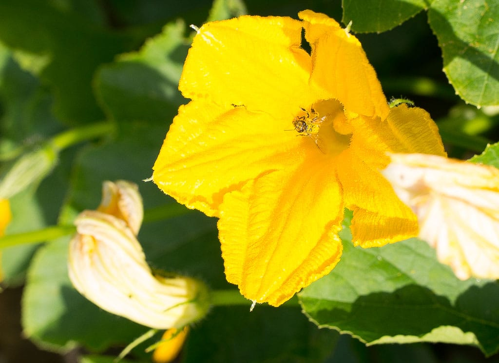 Pumpkin flower with drunken bee